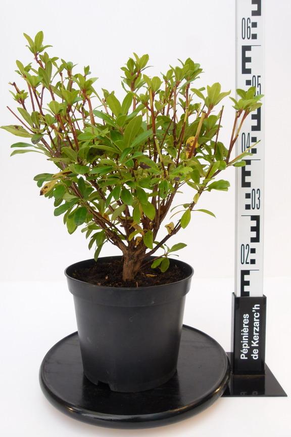 Rhododendron hybride golden gate rhododendron hybride for Plante 21 en ligne