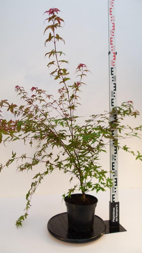 Acer palmatum deshojo erable palmatilob rable du for Pepinieres en ligne