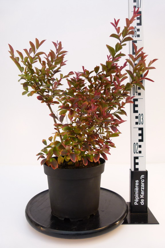 Lagerstroemia indica red imperator lilas des indes red - Quand planter un lilas ...