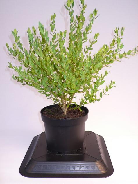 Polygala myrtifolia polygala myrtifolia polygale for Pepinieres en ligne