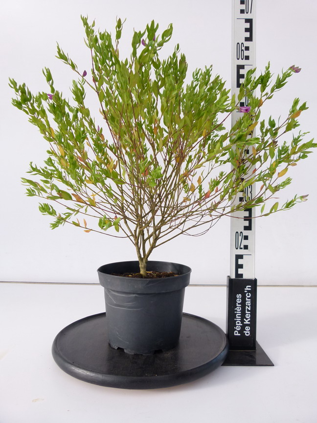 Polygala myrtifolia polygala myrtifolia polygale for Plante 21 en ligne