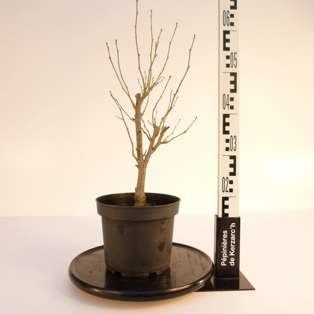 Hibiscus syriacus white chiffon mauve en arbre alth a for Pepinieres en ligne