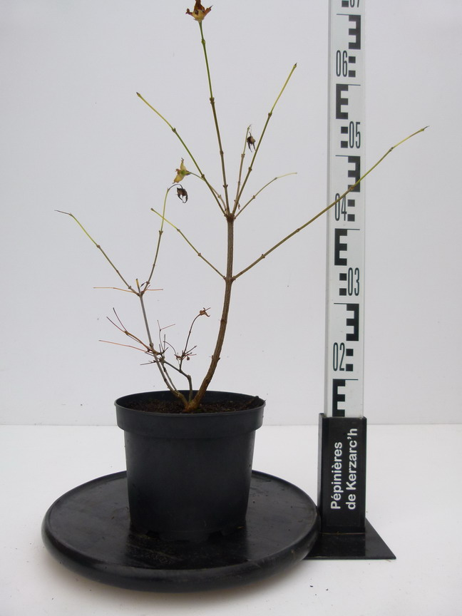 Rhodotypos scandens fausse cor te p pini re en ligne for Pepinieres en ligne