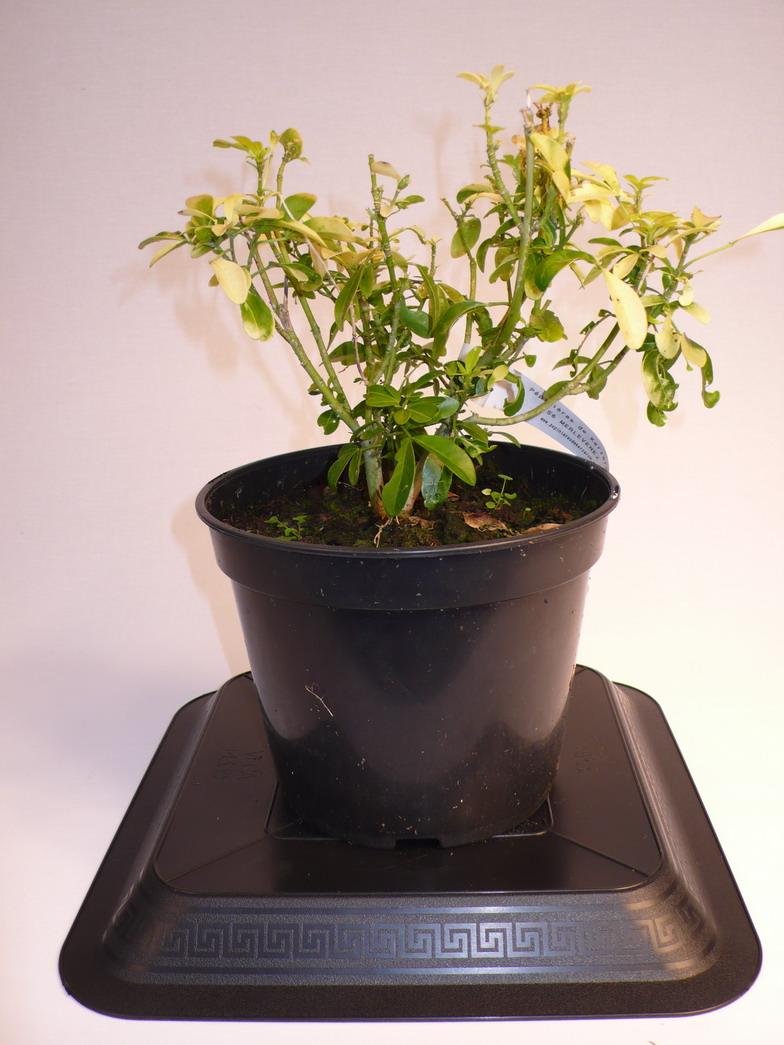 choisya ternata moonglow oranger du mexique moonglow p pini re en ligne de kerzarc 39 h. Black Bedroom Furniture Sets. Home Design Ideas