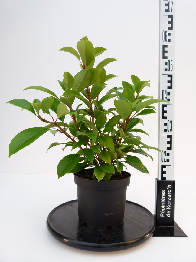 Hydrangea seemanii hortensia grimpant seemani for Pepinieres en ligne