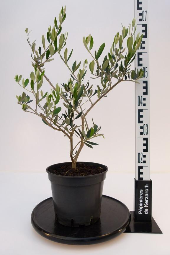 olea europea cailletier olivier commun olivier d 39 europe p pini re en ligne de kerzarc 39 h. Black Bedroom Furniture Sets. Home Design Ideas