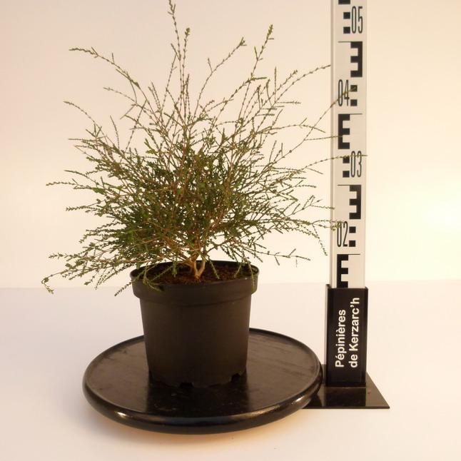 Melaleuca gibbosa cajeputier p pini re en ligne de for Pepinieres en ligne