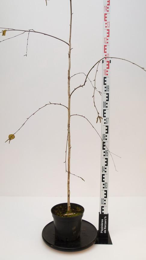 Betula utilis long trunk bouleau de l 39 himalaya pleureur for Pepinieres en ligne