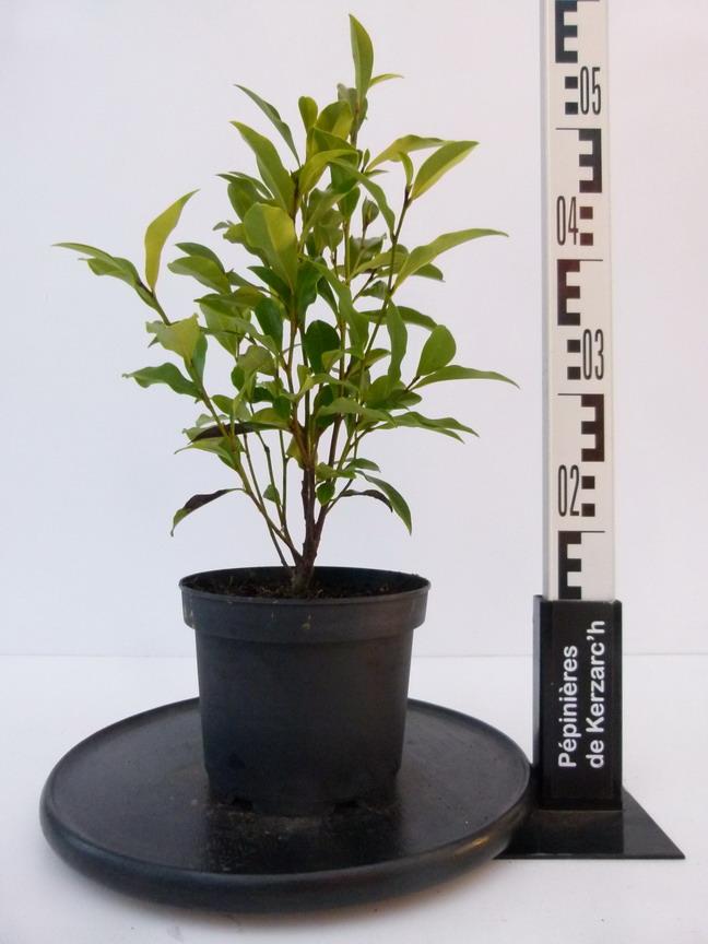 Michelia figo arbuste banane mich lie p pini re en for Arbuste en ligne