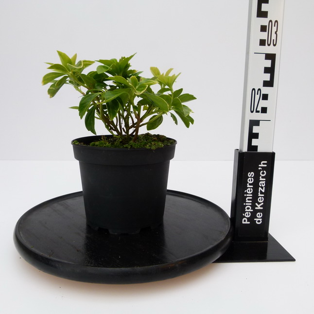 Pachysandra terminalis green sheen pachysandre du japon for Plante 21 en ligne