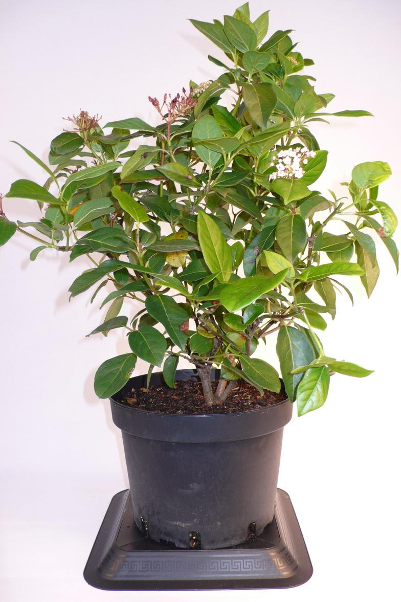 viburnum tinus macrophyllum laurier tin macrophyllum laurier fleurs p pini re en ligne de. Black Bedroom Furniture Sets. Home Design Ideas