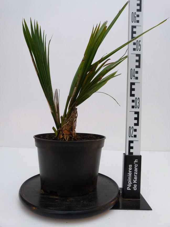 Sabal minor palmier p pini re en ligne de kerzarc 39 h for Pepinieres en ligne