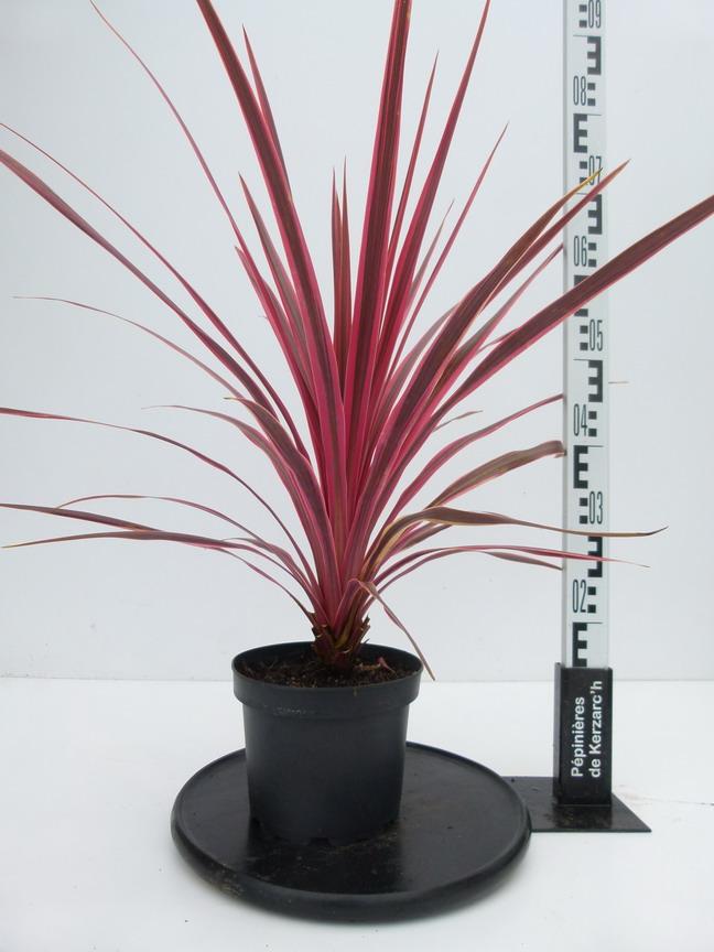 Cordyline australis pink fire palmier de nouvelle for Plante 21 en ligne