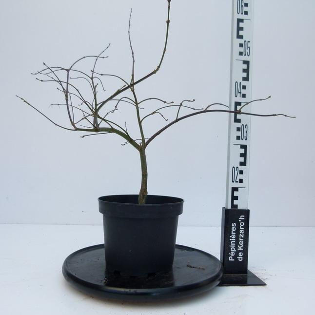 acer palmatum orangeola erable palmatilob rable du japon orangeola p pini re en ligne de. Black Bedroom Furniture Sets. Home Design Ideas