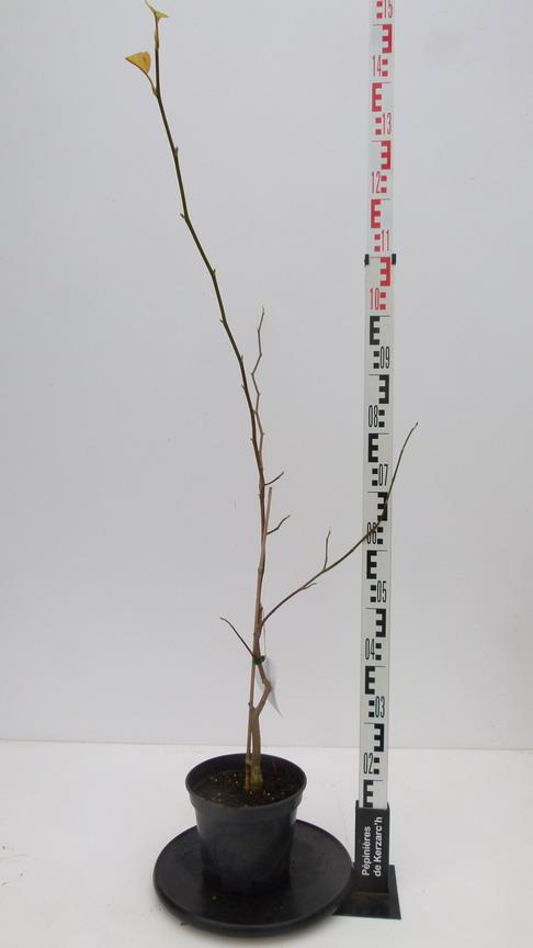 Magnolia acuminata butterfly magnolia butterfly arbre for Pepinieres en ligne