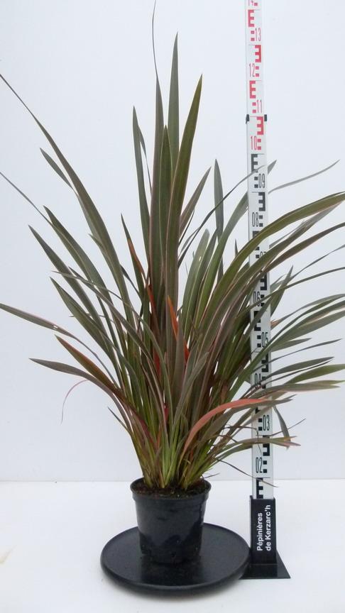 Phormium pink stripe lin de nouvelle z lande pink stripe for Pepinieres en ligne