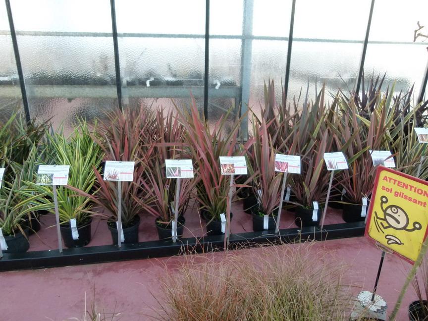 Phormium black adder lin de nouvelle z lande black for Site de vente de plantes