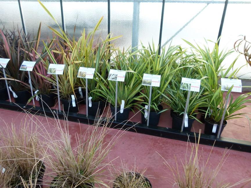 Phormium tenax rainbow sunrise lin de nouvelle z lande for Site de vente de plantes