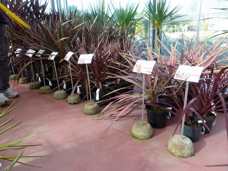 cordyline australis purpurea palmier de nouvelle z lande purpurea p pini re en ligne de. Black Bedroom Furniture Sets. Home Design Ideas