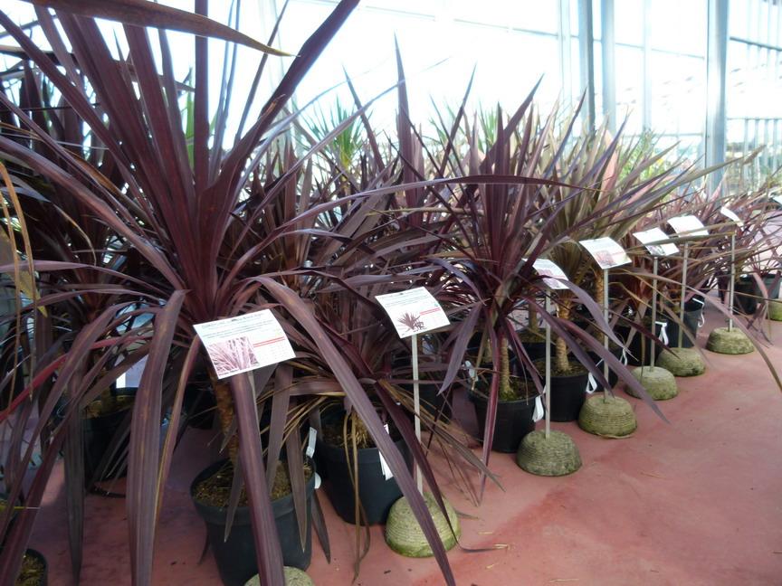 cordyline australis kiwi dazzler palmier de nouvelle z lande kiwi dazzler p pini re en ligne. Black Bedroom Furniture Sets. Home Design Ideas