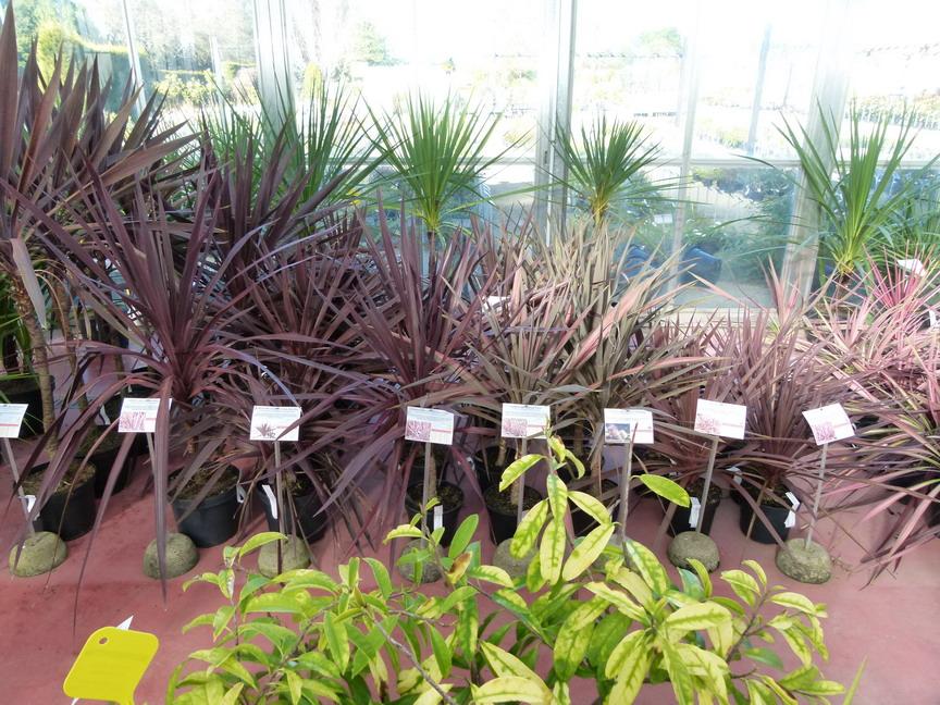 Cordyline australis torbay red star palmier de nouvelle for Site de vente de plantes