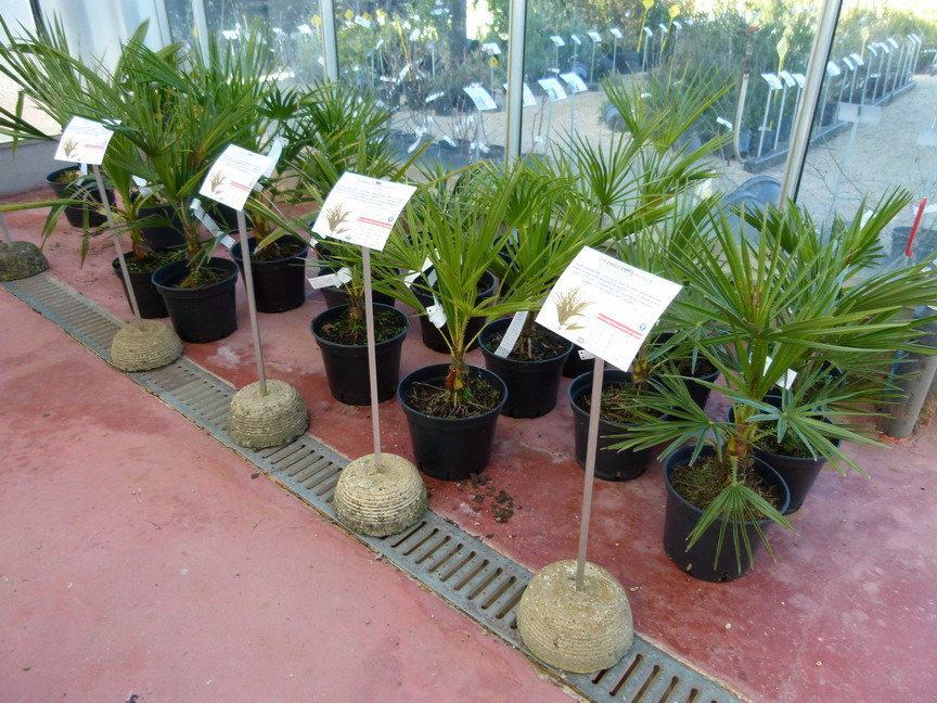 Chamaerops humilis palmier nain d 39 europe doum for Palmier nain exterieur