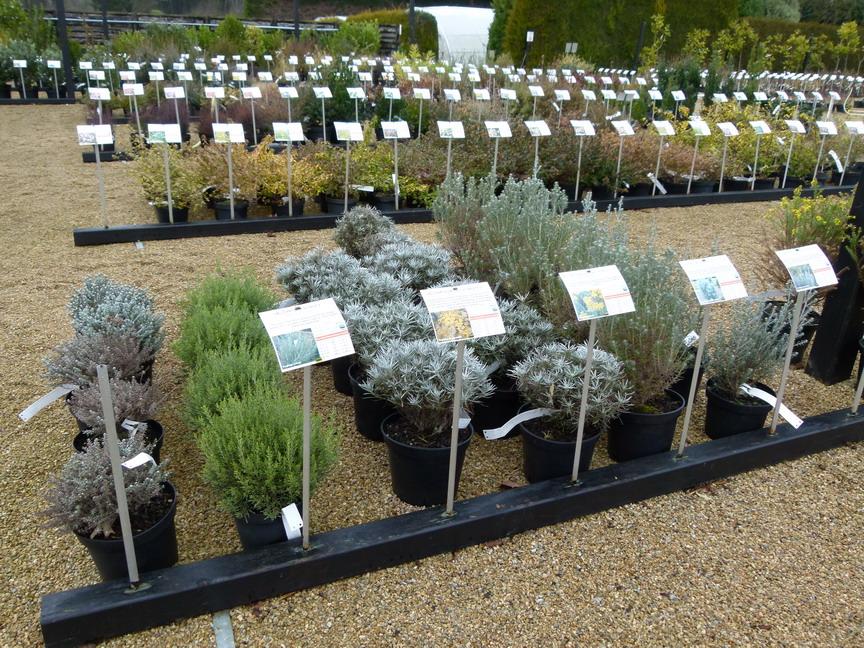 Helichrysum thianschanicum miel et curry h lichrysum miel et curry h lichryse immortelle des for Vente en ligne vegetaux