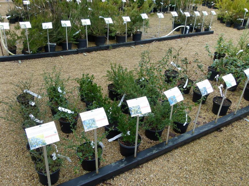 Ceanothus arboreus skylark c anothe skylark lilas de for Vente de vegetaux en ligne