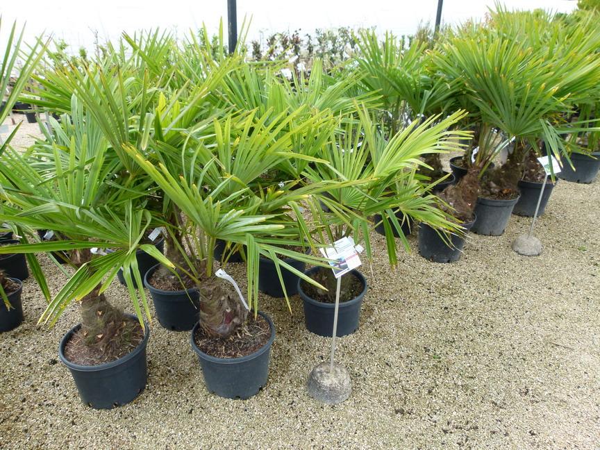 Trachycarpus fortunei palmier rustique palmier chanvre for Vente de vegetaux en ligne