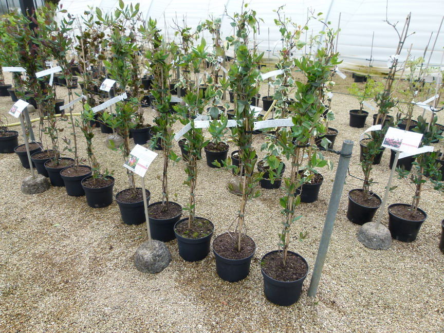 lonicera japonica hall 39 s prolific ch vrefeuille grimpant. Black Bedroom Furniture Sets. Home Design Ideas