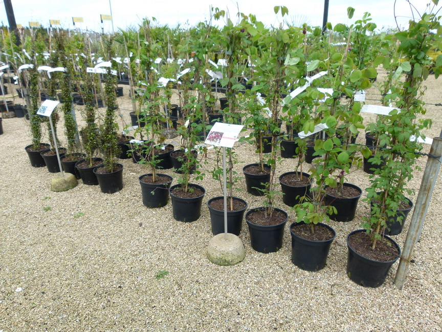 Wisteria sinensis glycine de chine glycine commune for Site de plante en ligne