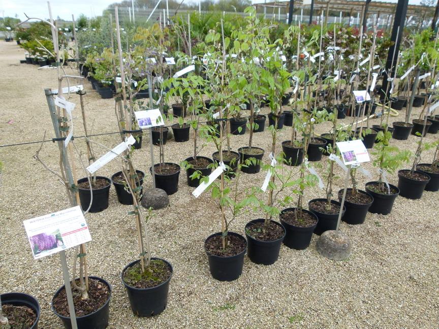 Campsis grandiflora bignone jasmin de virginie for Site de vente de plantes