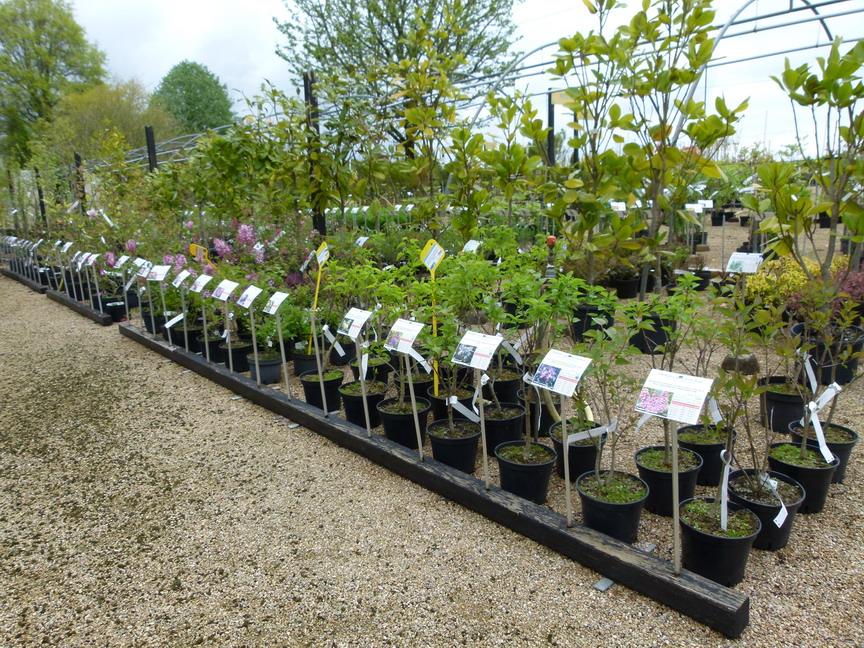 Elaeagnus angustifolia olivier de boh me olivier de for Vente arbuste en ligne
