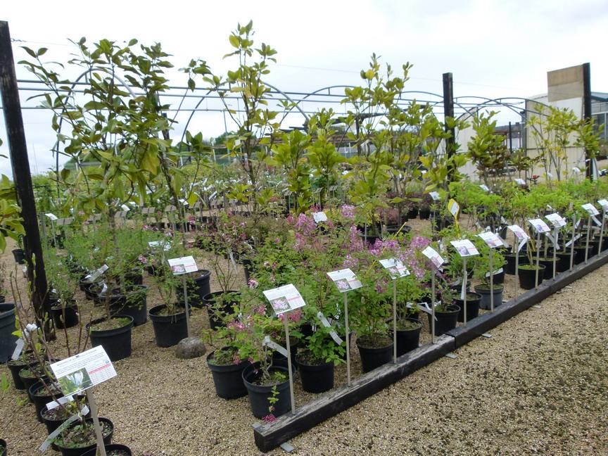 Tamarix tetrandra tamaris de printemps p pini re en for Vente de vegetaux en ligne