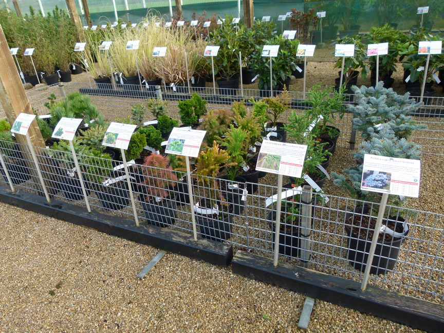 Pinus strobus fastigiata pin blanc pin du lord pin for Vente de vegetaux en ligne