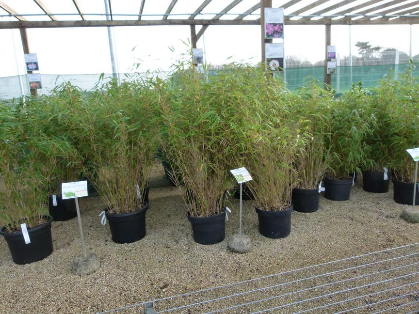 Fargesia nitida trifina black bambou moyen trifina black p pini re en ligne de kerzarc 39 h for Vente en ligne vegetaux