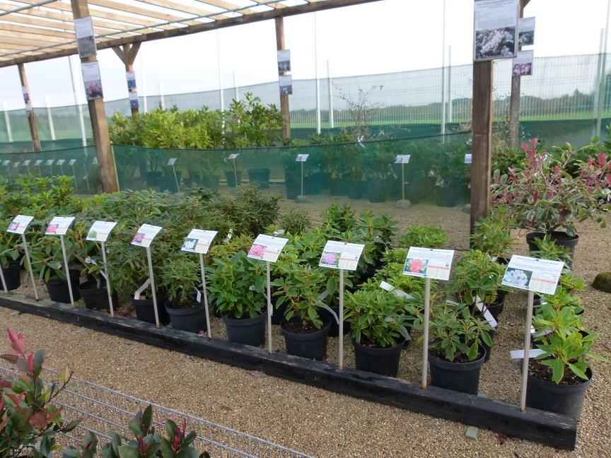 Rhododendron hybride rocket rhododendron hybride rocket for Site de vente de plantes en ligne
