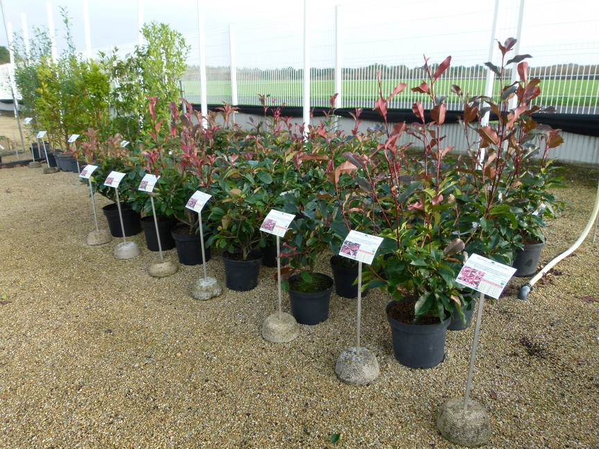 PHOTINIA x.fraseri Red Select : photinias à grande végétation en expo-vente, saison 2015/2016.