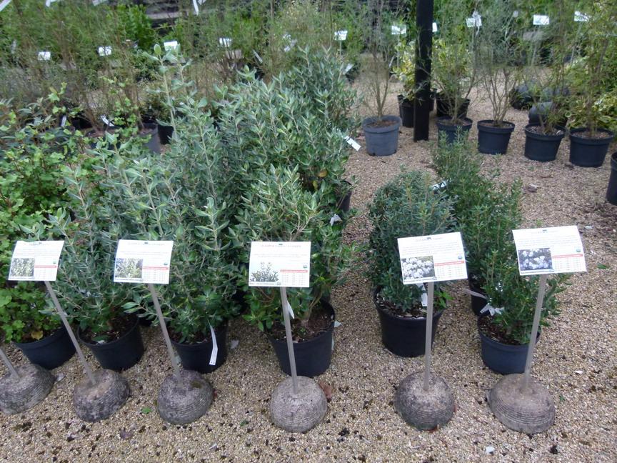 Olearia virgata ol aria virgata p pini re en ligne de for Vente de vegetaux en ligne