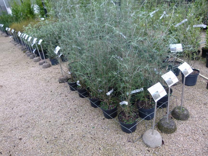 Olearia ol aria haastii marguerite en arbre for Vente de vegetaux en ligne