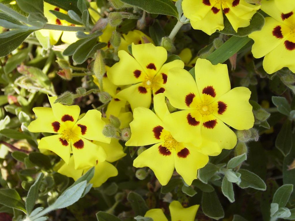 Halimium lasianthum halimium lasianthum p pini re en for Commande de plantes en ligne