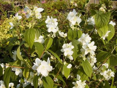 Philadelphus coronarius seringat des jardins p pini re for Catalogue de plantes en ligne