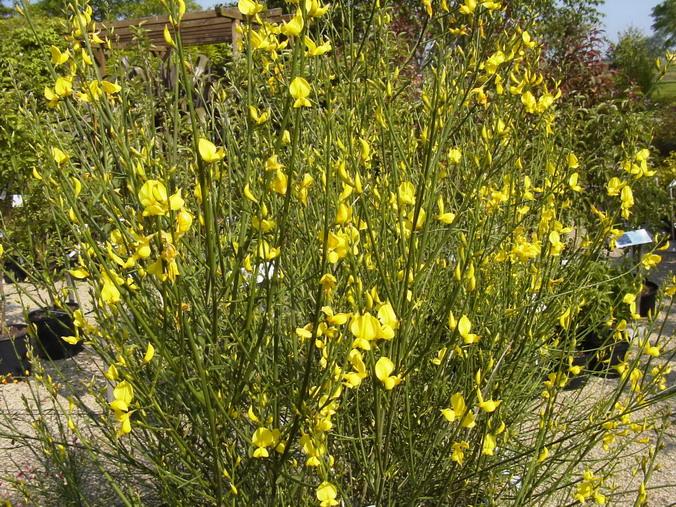 Spartium junceum gen t d 39 espagne spartier p pini re for Site de plante en ligne