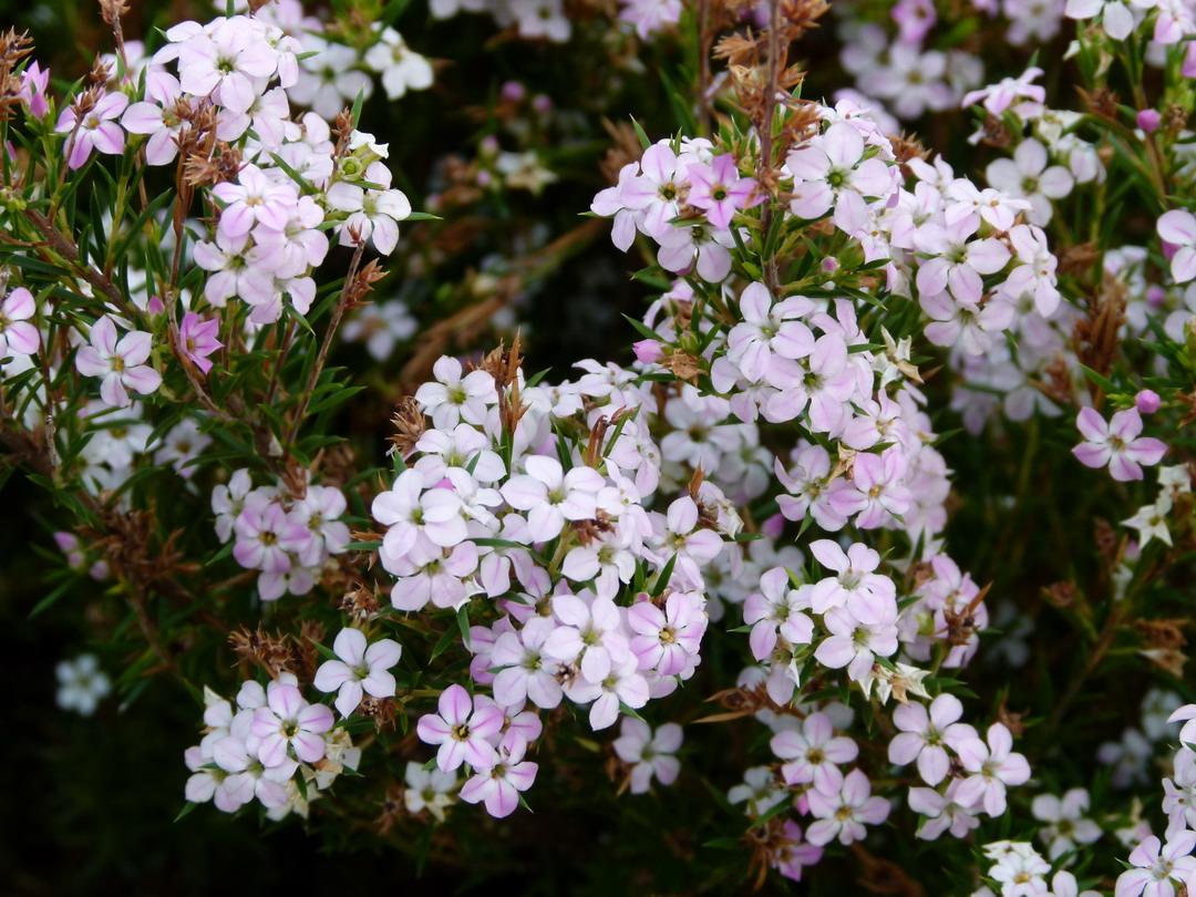 Diosma hirsuta pink fountain diosm hirsute parfum des for Catalogue de plantes en ligne