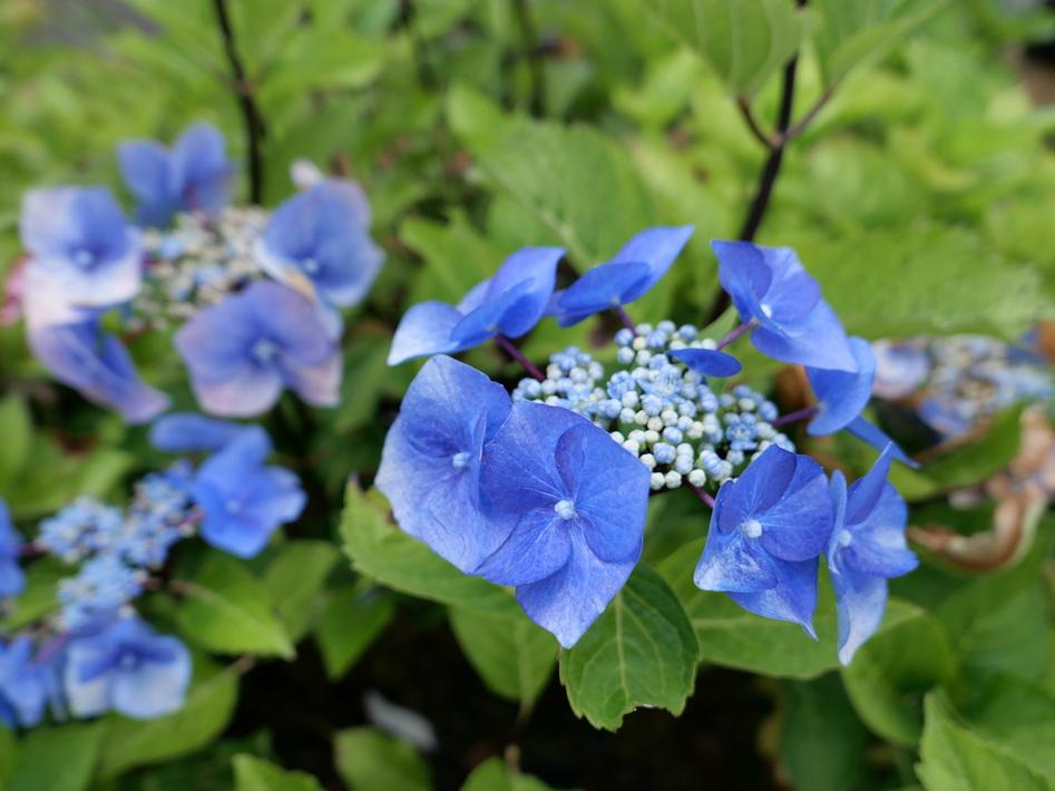 hydrangea macrophylla zorro bleu hortensia de jardin zorro bleu p pini re en ligne de. Black Bedroom Furniture Sets. Home Design Ideas