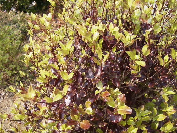 pittosporum tenuifolium purpureum pittosporum petites feuilles purpureum pittospore. Black Bedroom Furniture Sets. Home Design Ideas