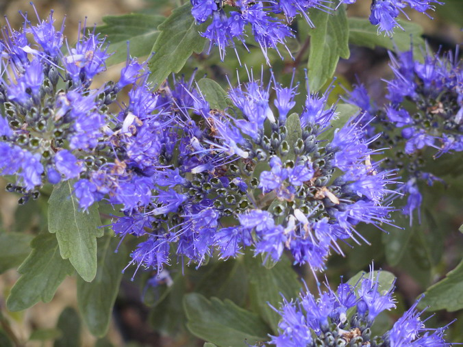 CARYOPTERIS x.clandonensis Grand Bleu ® : floraison estivale.