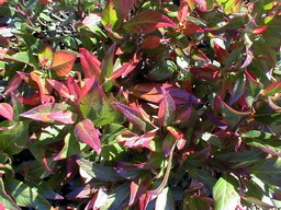 LEUCOTHOE Red Lips ®