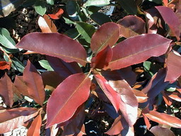 PHOTINIA x.fraseri Red Select : jeune feuillage de printemps.