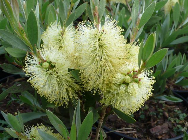 Callistemon salignus rince bouteille australien salignus for Site de plante en ligne